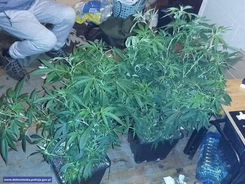 W domowym zaciszu prowadził uprawę marihuany