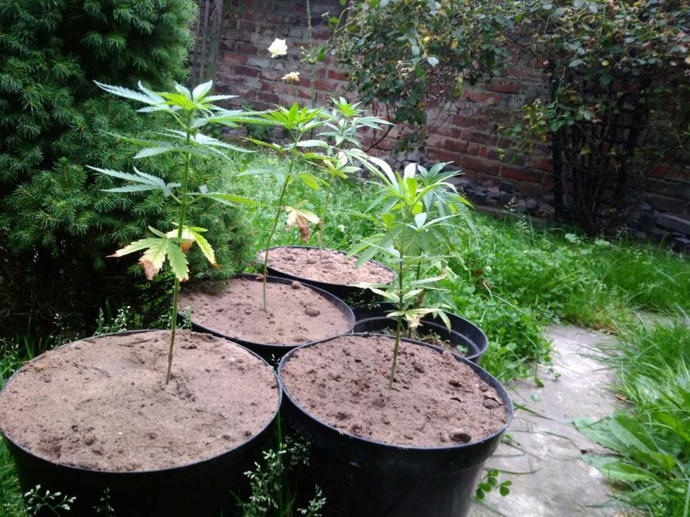 Dwie domowe plantacje marihuany