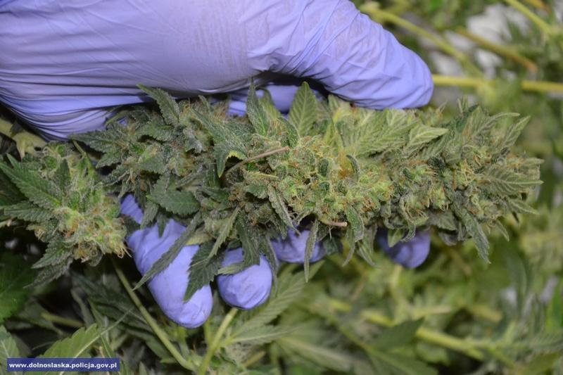 Zlikwidowali uprawę izabezpieczyli marihuanę