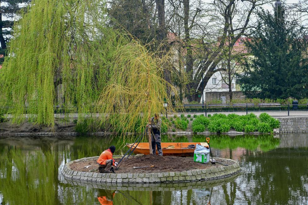 Planty miejskie - nowa wierzba na wysepce, łabędzica wysiaduje jaja