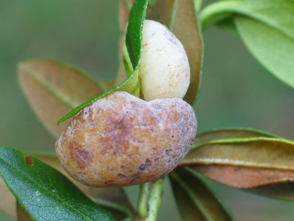 Unikatowy grzyb na unikatowej roślinie