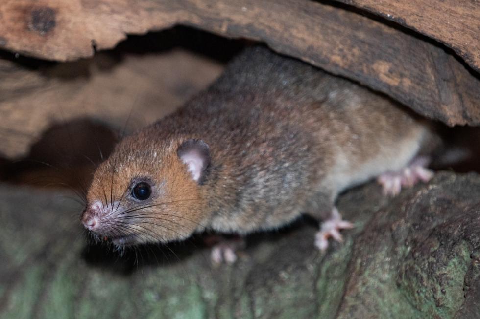 Nowy gatunek: szerokostopek - nowy mieszkaniec ZOO Wrocław